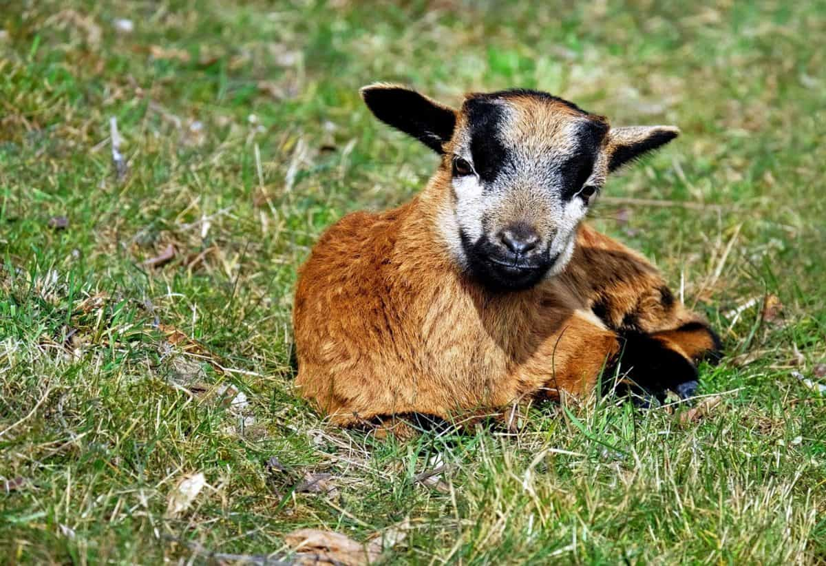 animal, grass, cute, fur, goat, grass, animal, meadow