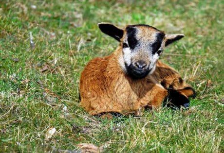animale, erba, carina, pelliccia, capra, erba, animali, prato