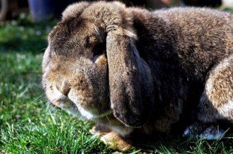 Kaninchen, braun, Rasen, Haustier, Fell, Natur, Tier, Tierwelt