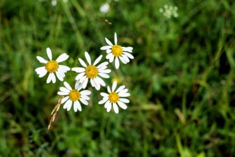 nature, chamomile, flora, grass, field, summer, flower