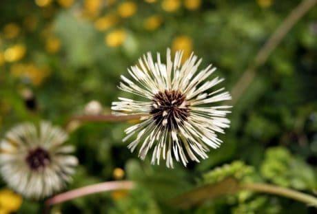 dandelion, seed, macro, summer, nature, flora, flower, herb, plant