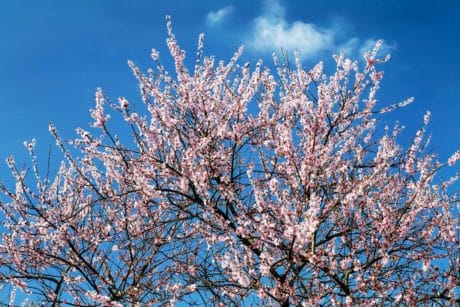 branch, nature, tree, flower, spring, cherry tree, blue sky, plant, outdoor