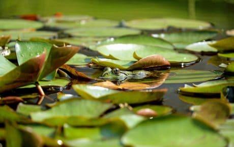 лягушка, животных, озеро, вода, водные, зеленых листьев, болото