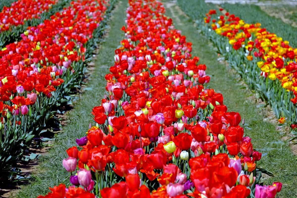 Tulpe, Natur, Blume, Blatt, Feld, Flora, Garten, Pflanze