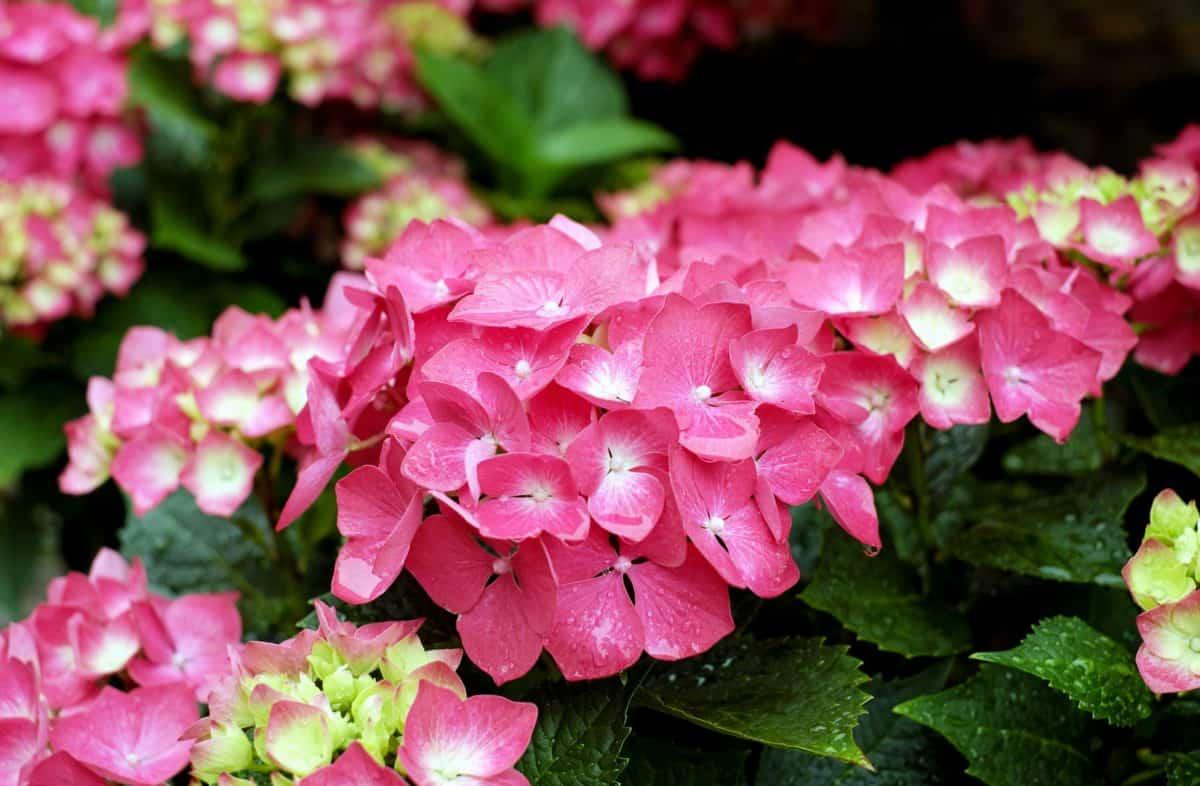 Geranio, naturaleza, hoja, jardín, verano, flor, Pétalo, flora