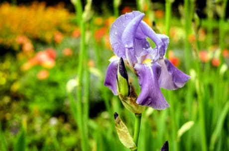 iris, summer, nature, grass, flower, flora, garden, herb, plant