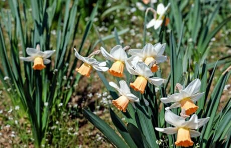 daffodil, nature, grass, garden, flower, flora, narcissus, summer, leaf
