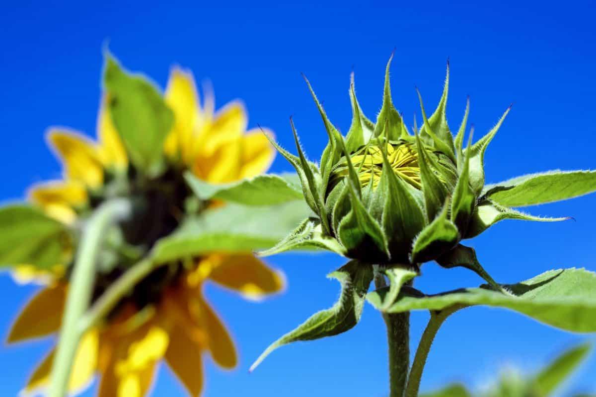 blad, sommar, flora, natur, blå himmel, blomma, ört, växt, solros