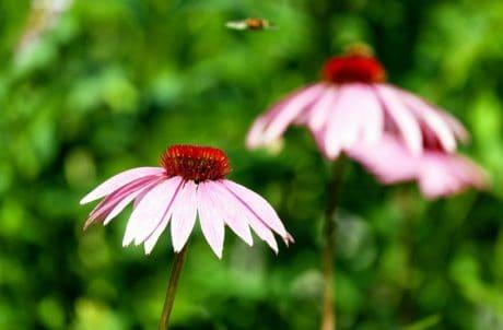 été, fleur, nature, flore, plante, fleur, jardin