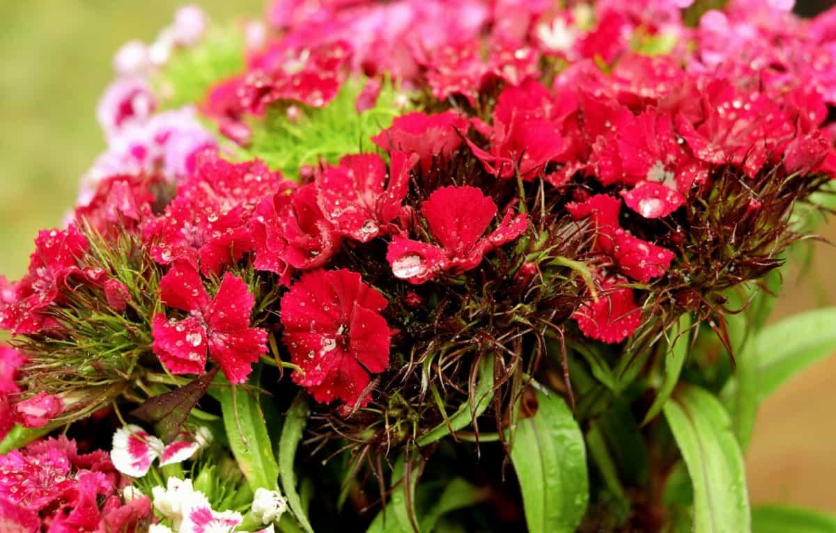 l'été, pétale, champ, feuille, flore, nature, fleur de jardin, rouge