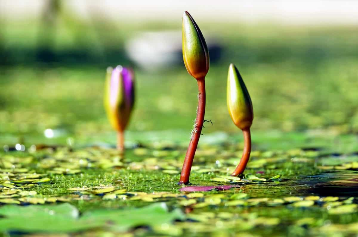 Lotus, campo, Pétalo, brote, naturaleza, flor, jardín, flora, agua, lago, humedal