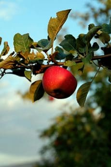 orchard, tree, leaf, food, apple, branch, nature, fruit, vitamin, garden