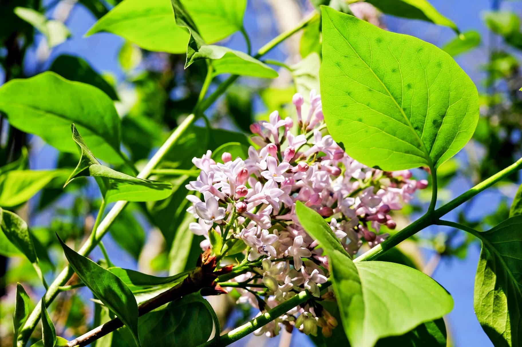 Kostenlose Bild Strauch Pflanzen Blume Blatt Sommer Garten