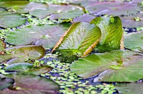 zahrada, léto, prostředí, zelený list, vodu, flóra, příroda, list, jezero
