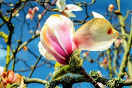 magnolia, garden, tree, flora, branch, nature, flower, fruit