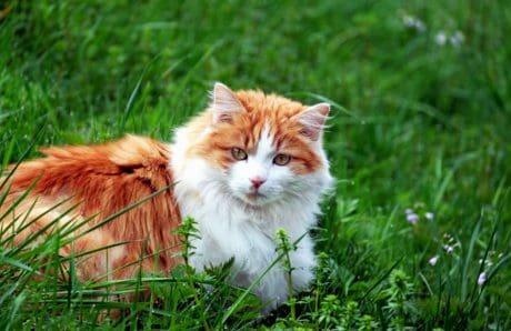 zoologie, mignon, animal, herbe verte, nature, chat, chaton, félin, lumière du jour, fourrure