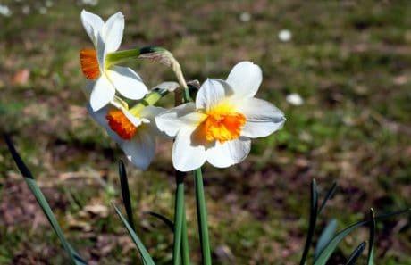 flore, priroda, cvijet, list, vrt, biljke, Narcis, cvijet