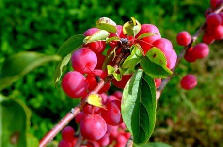 arbuste, branche, arbre, été, feuille, jardin, flore, fruits, nature