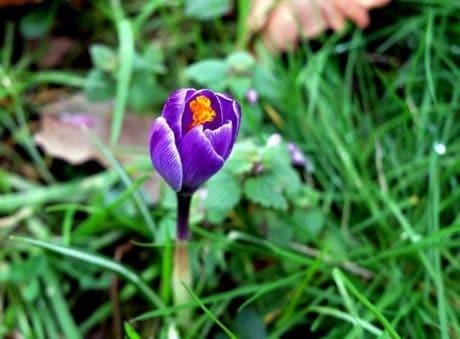 Crocus, foglie, erba, fiore, estate, natura, giardino, flora