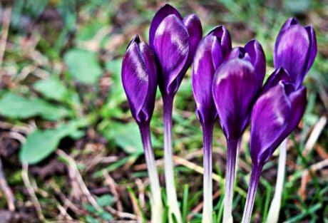 flora, crocus, flower, leaf, nature, plant, petal, bloom