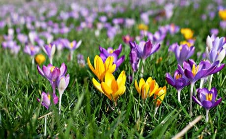 crocus, field, flower, garden, summer, grass, flora, nature