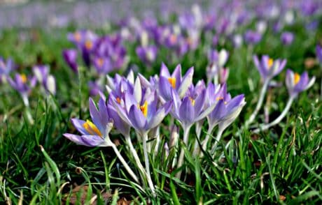 crocus, field, flower, garden, flora, nature, grass, summer
