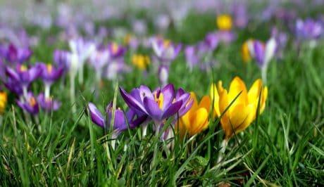 crocus, colorful, garden, petal, flora, flower, summer, nature, green grass