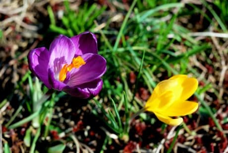 crocus, leaf, flower, flora, grass, petal, garden, nature, summer
