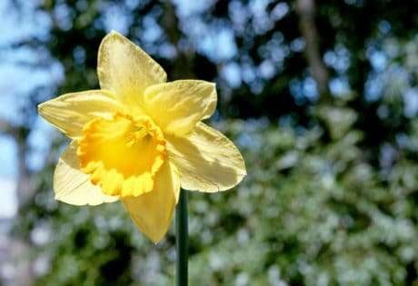 daffodil, nature, flora, yellow flower, garden, plant, herb