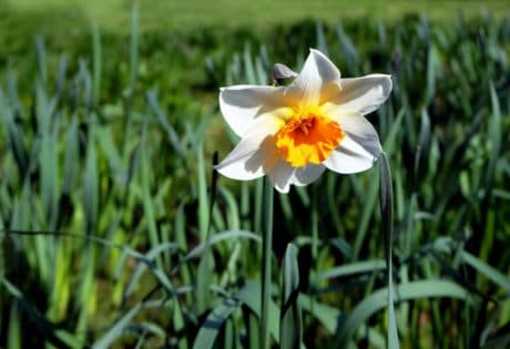 daffodil, flower, flora, grass, field, garden, nature, summer