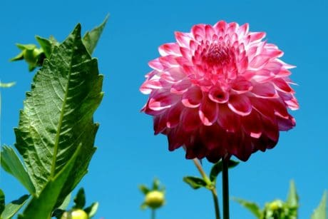 dahlia, red flower, flora, leaf, summer, nature, blue sky, petal, plant