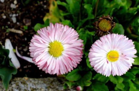 daisy, leaf, summer, flora, pollen, garden, flower, petal, nature
