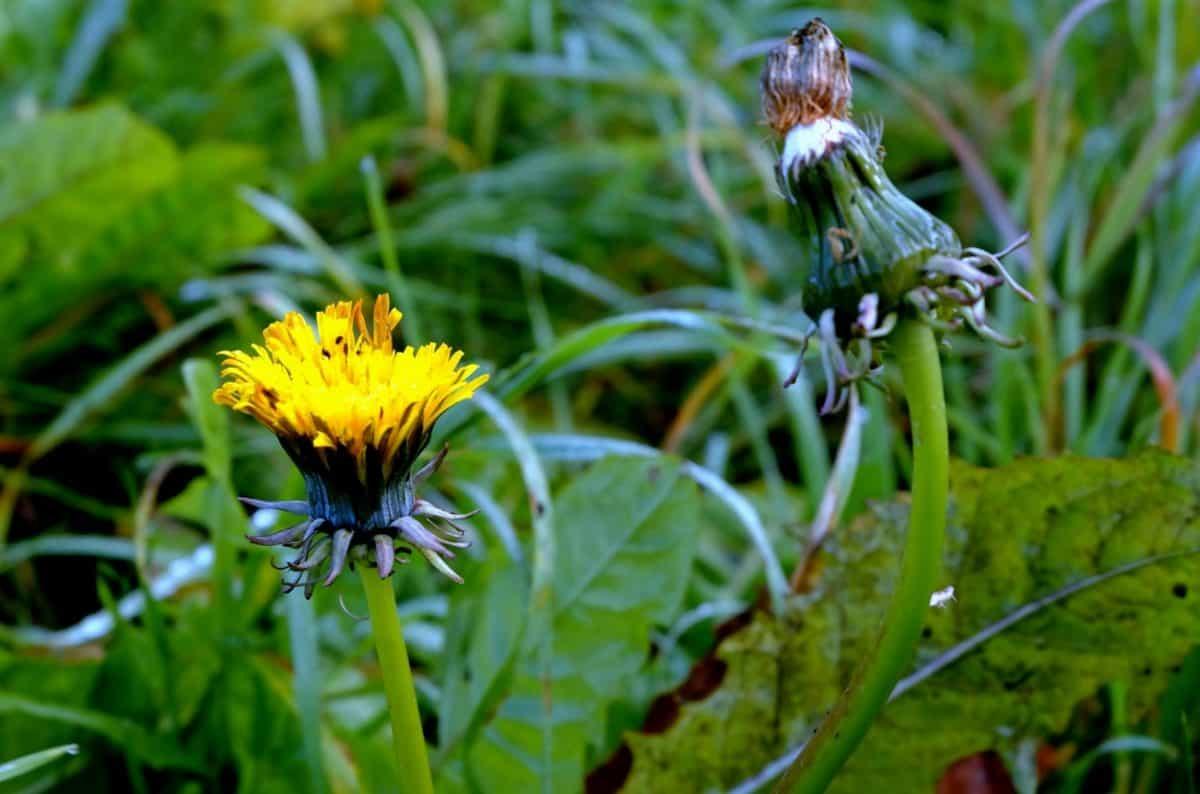 flor, natureza, folhas, erva, planta, dente de leão, verão, flor