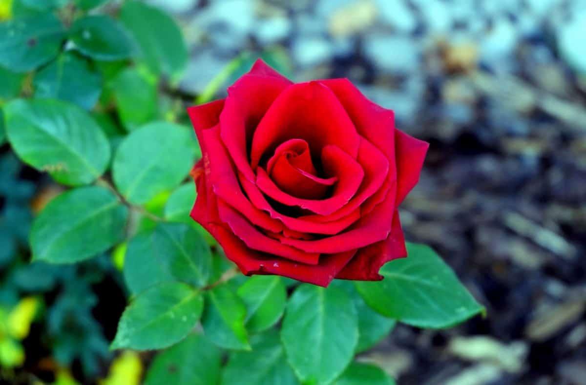 blade, røde, makro, blomst, petal, rose, flora, natur, plante, haven, blossom