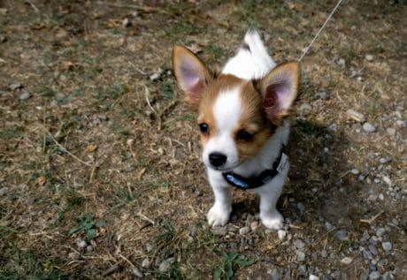 eläin, lemmikki, söpö, koira, koira, pentu, ruoho, ulkoilu, eläintiede