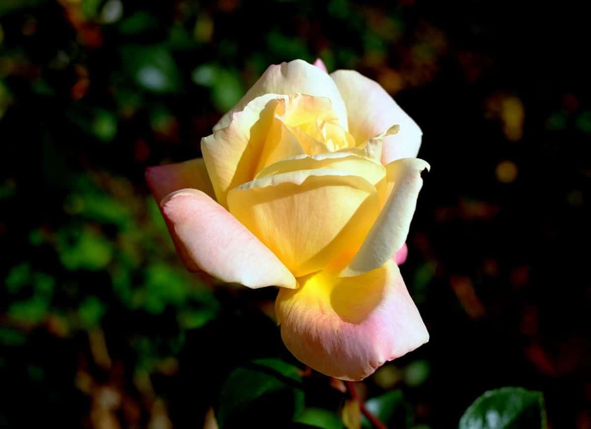 hvit blomst, flora, kronblad, rose, natur, blad, hage, plante, blomst