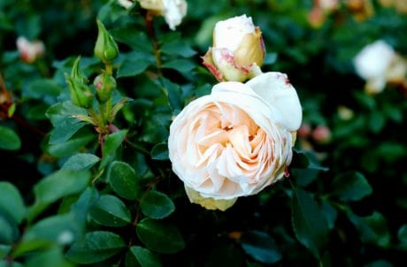 petal, rose, nature, garden, leaf, flora, white flower, plant, blossom