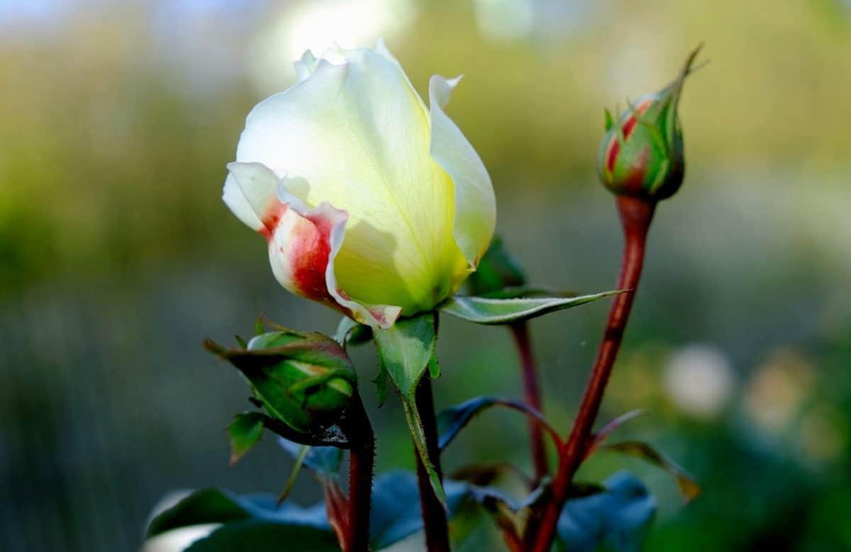 Flora, foglia, estate, natura, rosa, bianco bocciolo di fiore, fiore, fiore, giardino