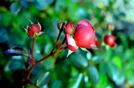 flower bud, rose, nature, flora, red flower, leaf, garden, plant