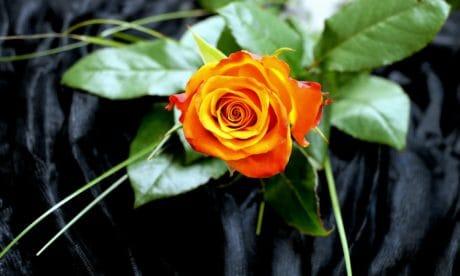 leaf, flora, flower, macro rose, nature, petal