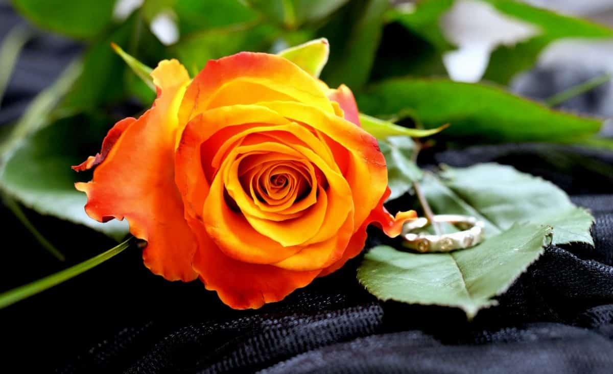 Rose, pétale, feuille, nature, fleur, plante, macro, détail, roses