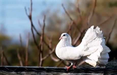 animal, nature, plume, oiseaux, pigeon blanc, bague extérieure, bec,