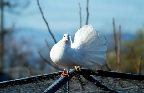 white pigeon, bird, nature, dove, feather, beak, animal, sky