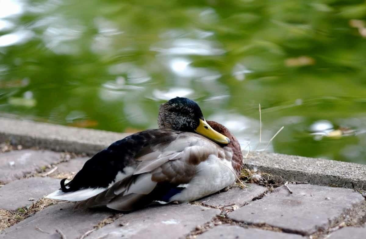 free picture animal mallard duck bird water nature feather