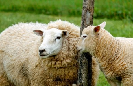 sheep, grass, animal, nature, merino sheep, farm, field, lamb