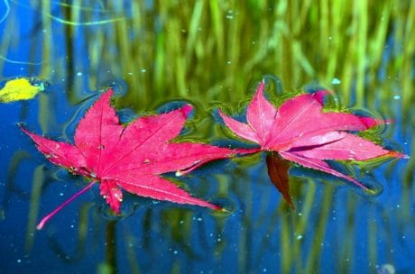 nature, leaf, flora, water, reflection, plant, herb, outdoor