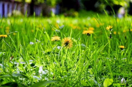 dandelion, summer, leaf, field, grass, flora, garden, lawn, nature