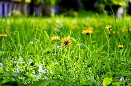 민들레, 여름, 잎, 분야, 잔디, 식물, 정원, 잔디밭, 자연