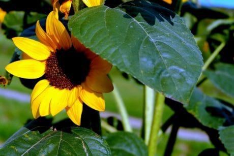 flora, summer, nature, flower, garden, leaf, sunflower, plant