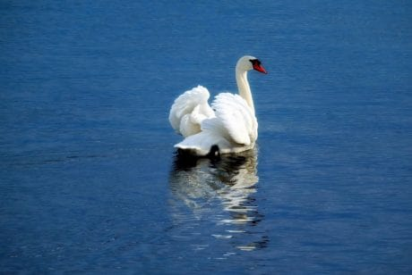 swan, bird, water, nature, lake, animal, outdoor
